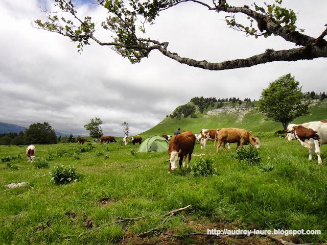 vaches tente