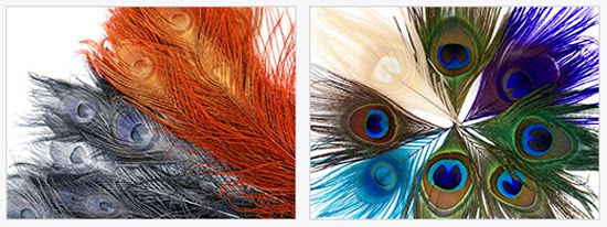 PEACOCK FEATHERS FOR COSTUMES AND COUTURE