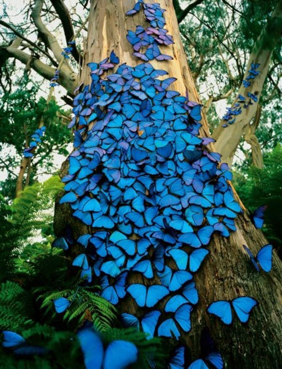 muda-flor-borboleta-azul-borboleteira-cleodendron-ugandense-13807-MLB4465725927_062013-F.jpg