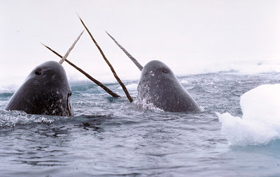 Narwhals_breach%5B1%5D