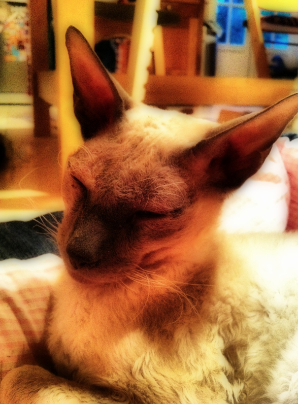 Rex the Cornish Rex