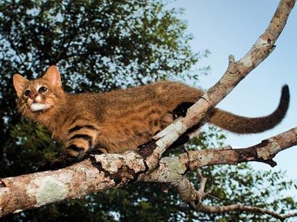 Argentina nativa: Gato de los pajonales (Leopardus colocolo)