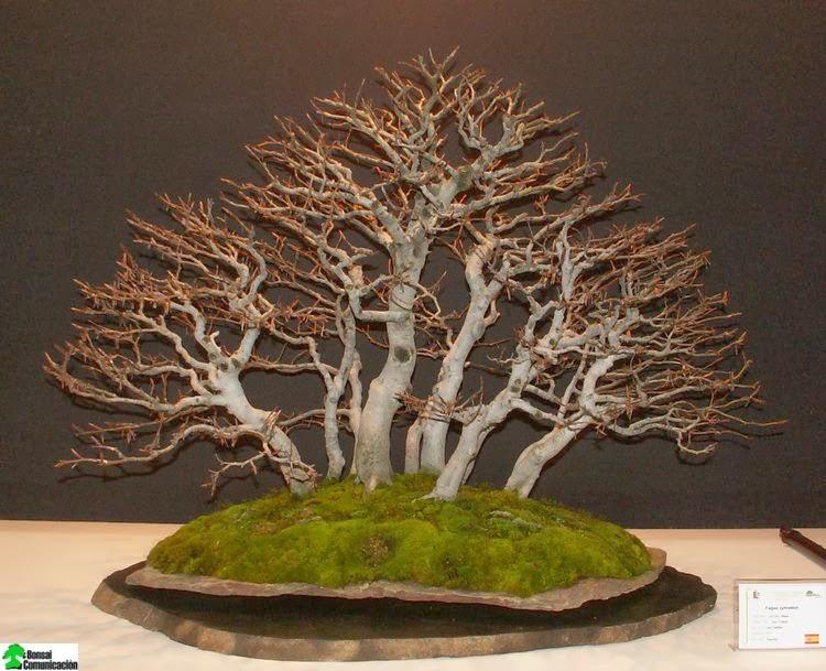 Tecnicas para hacer un bonsai plantas bonsai bonsai - Como se cuida un bonsai ...