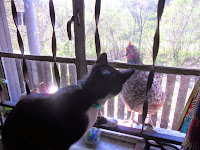 Cat and chicken looking at each other through window