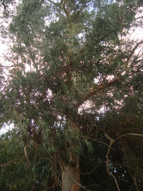 Floresamatxo todo sobre las flores consejos para cuidar - Informacion sobre el eucalipto ...