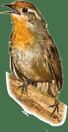 Uirapuru-verdadeiro | Musician Wren