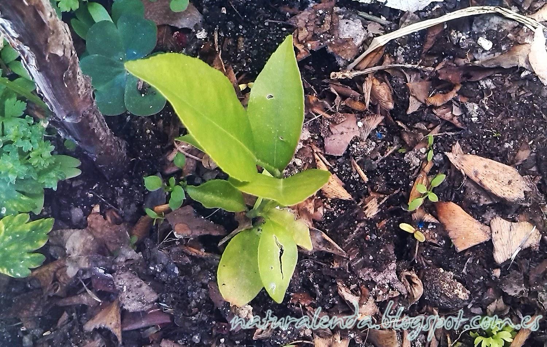 pequeño kumquat creciendo