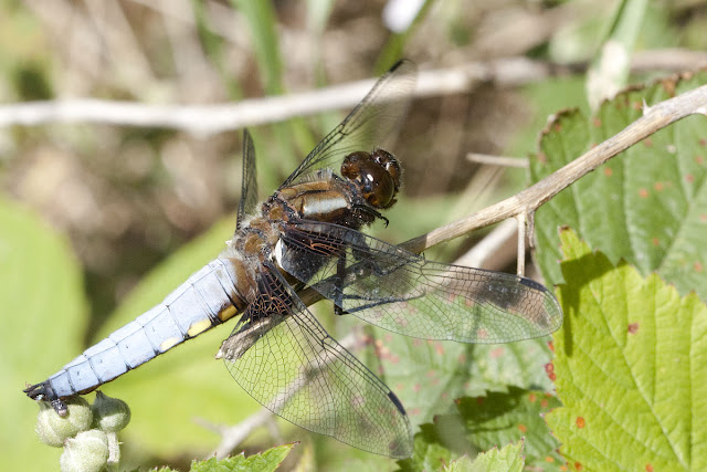 Broad-bodied chaser, Libellula depressa, by the pond in Spring Park, 3 June 2011.