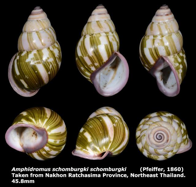 Amphidromus schomburgki schomburgki 45.8mm