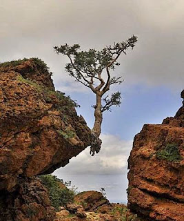 Tree clinging to a rock