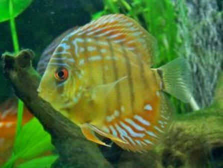 The Discus Fish Cool Freshwater Aquarium Fish
