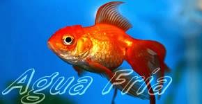 Club acuaristas bragado peces de agua fr a for Enfermedades de peces de agua fria