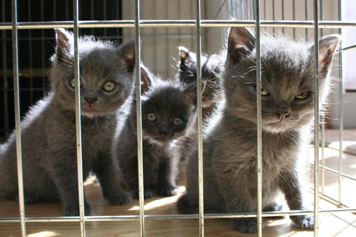 four adorable fuzzy grey kittens behind the bars of an ex-pen, looking at the camera, the largest has his eyes squinted slightly so he looks a bit mad