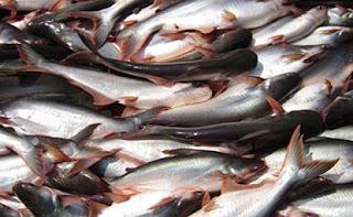 Hasil gambar untuk ikan patin