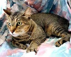 abyssinian cats pictures