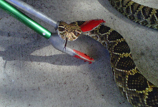 Rattlesnake On Hilton Head Island