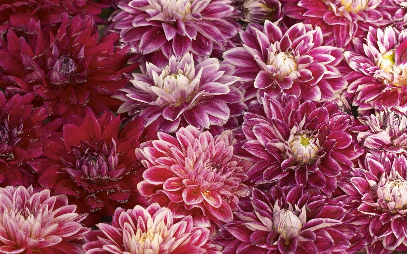 Wwe Wrestlers Profile Beautiful Mum Flower Wallpapers