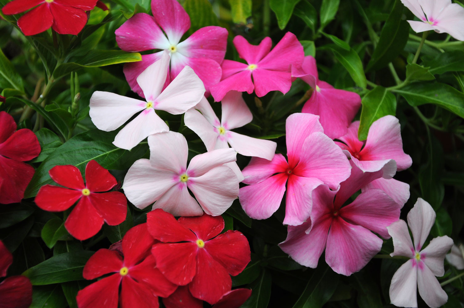 Flores Coloridas o Ano Todo  AprendaCultivarcombr