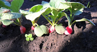 31 мая, завязь корнеплодов редиски
