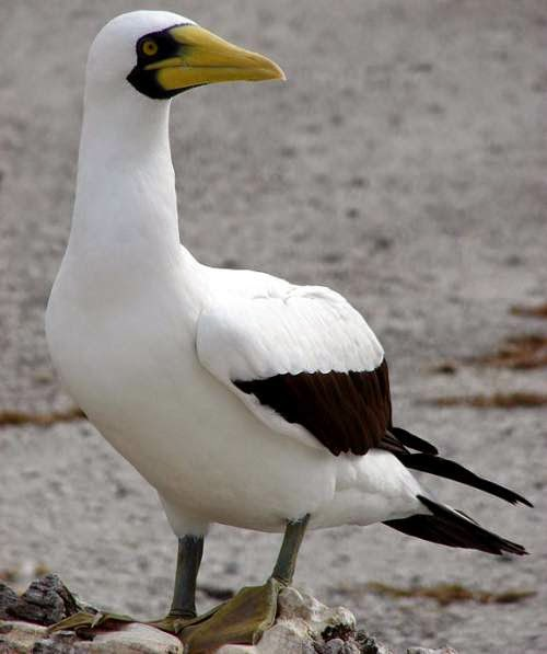 Indian birds - Masked booby - Sula dactylatra