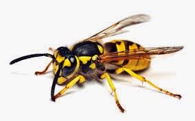 tawon yang berbahaya di dunia