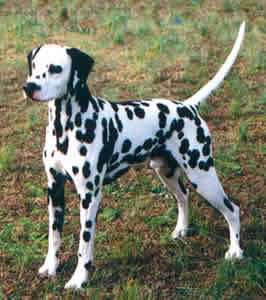 Dalmatian Puppies on Dalmatian Cute Puppies Pictures   Puppy Photos   Puppies Pictures