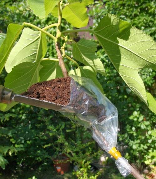 Permafor t semis bouturage et marcottage et autres for Comment tailler un citronnier