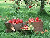 Засаждане и отглеждане на Ябълки