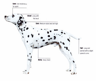 dalmatian dog puppy puppies pets dog hound canine pooch canis bow-wow despicable fellow qen txakurra gos pas hond koer aso koira kutya hundur madra pets huisdieren animaux de compagnie Haustiere de companie husdjur Evcil Hayvan anifeiliaid anwes domace zvali augintiniai alagang hayop domaci zvirata kucni ljubimci animals domestics maskotak anatomy
