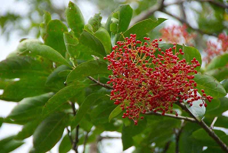 Red Berries, Viburnum odoratissimum