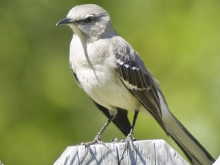 Mockingbird Bird Pictures