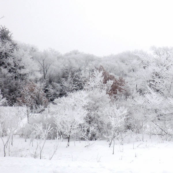 Snow Frosted Trees - Snow Photograph