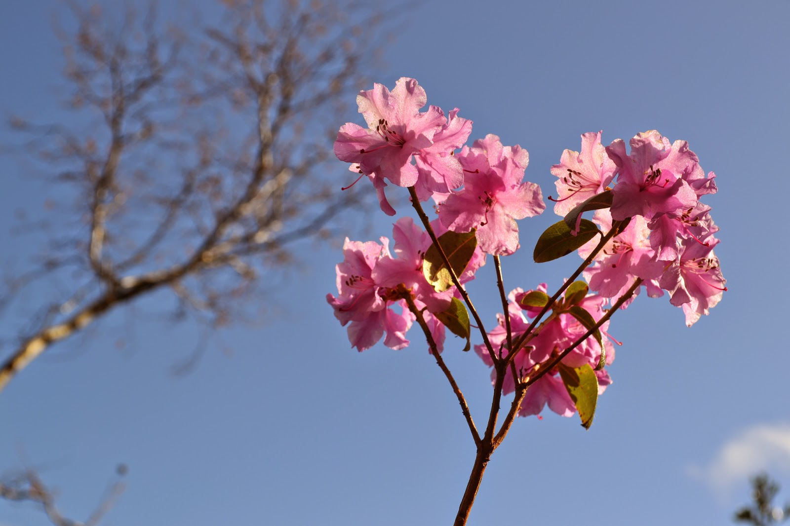 Rhododendron praecox - Abriachan Nurseries