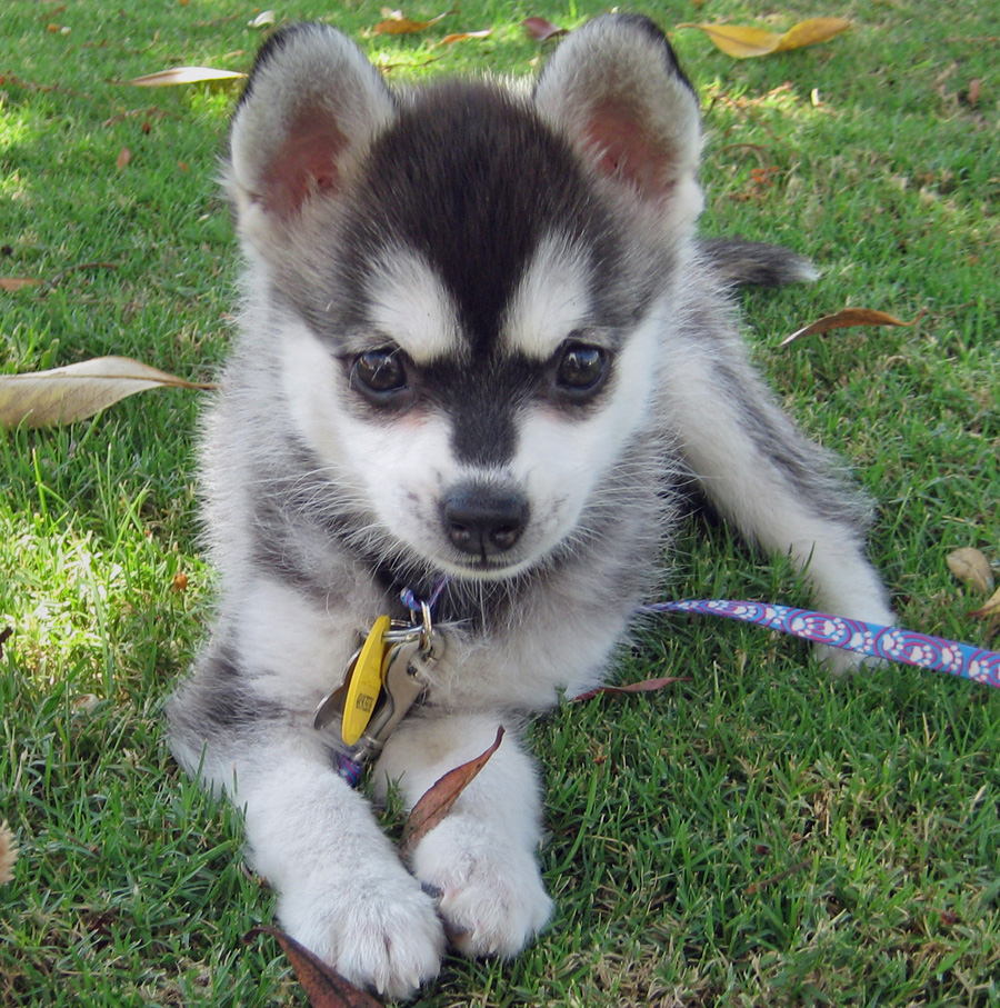 Alaskan Klee Kai Puppies Free Download Wallpaper
