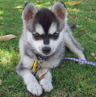 alaskan klee kai puppy breeds photo pets dog infomation
