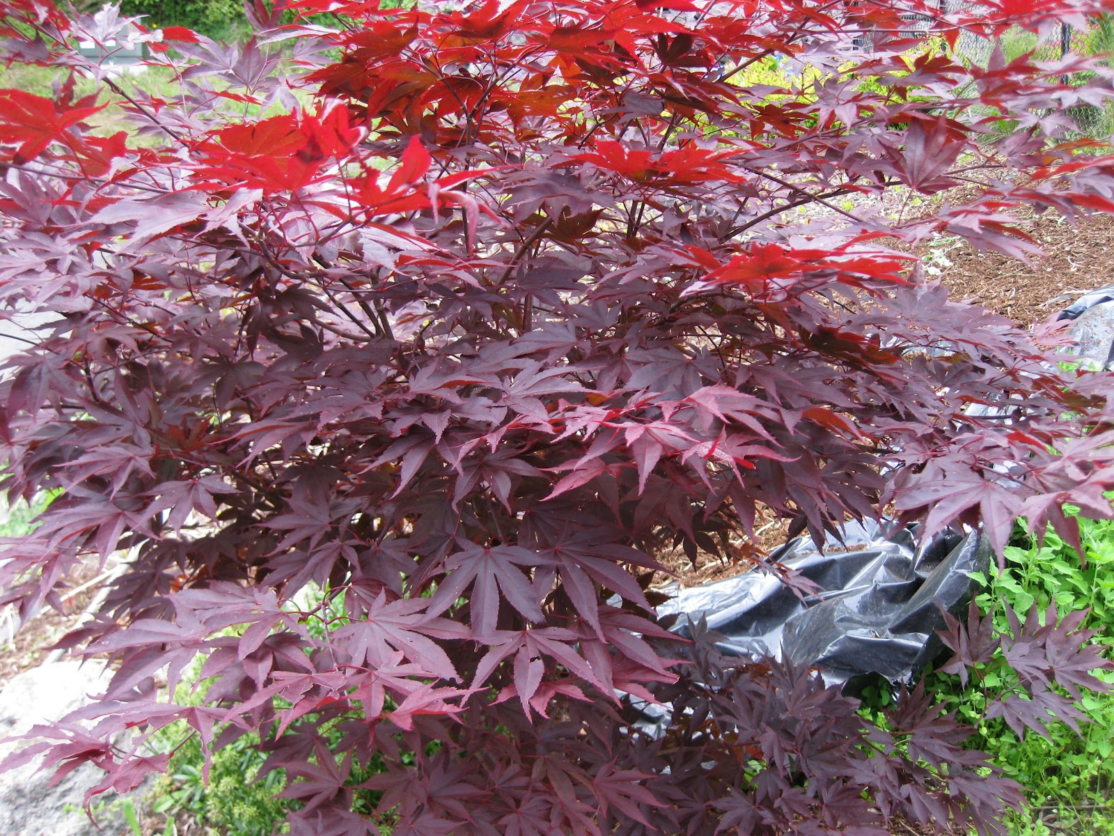 mary 39 s maples acer palmatum boskoop glory. Black Bedroom Furniture Sets. Home Design Ideas