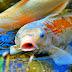 Hal Penting Sebelum Membuat Kolam Ikan Koi
