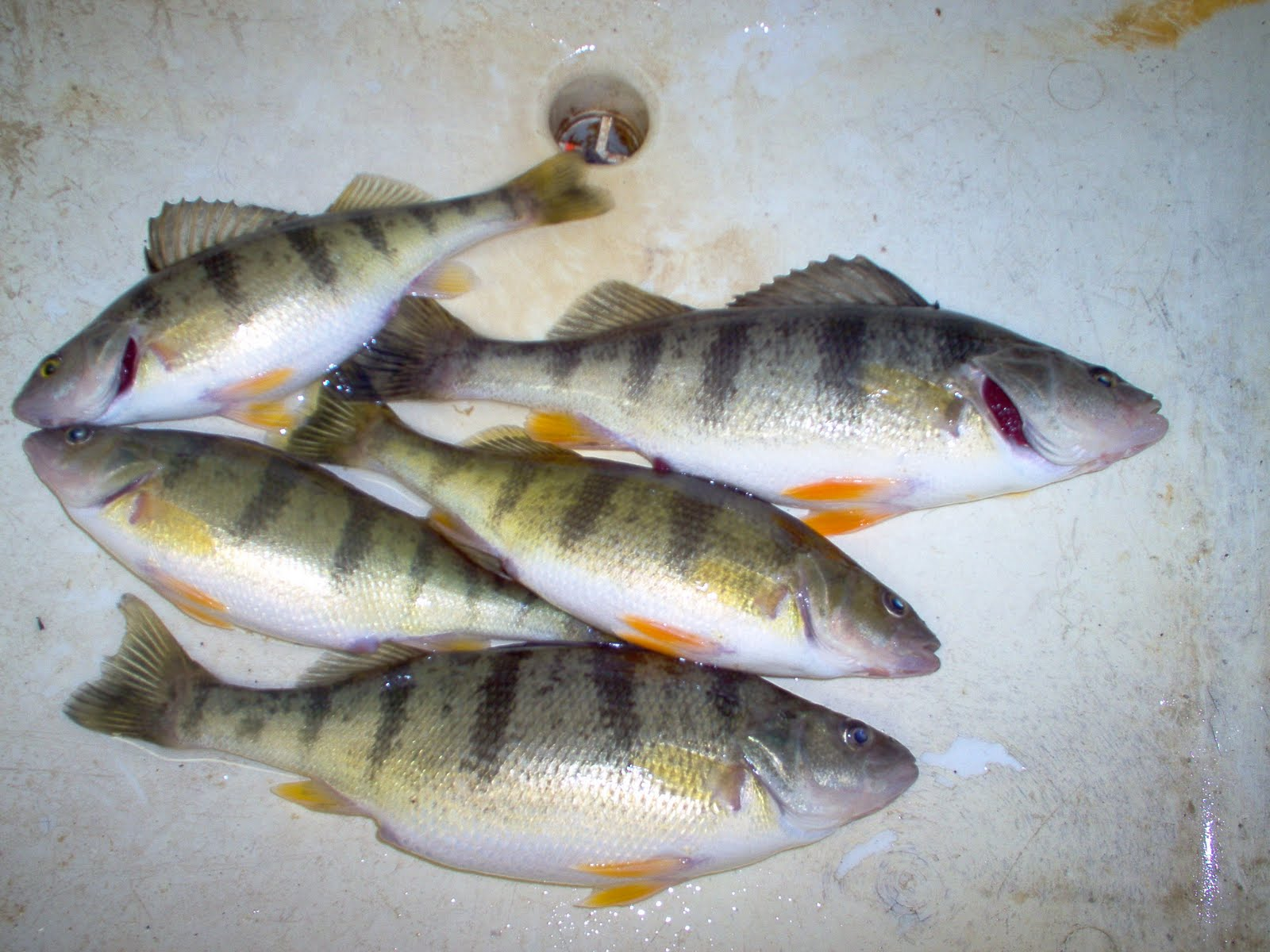 Robfisherie border patrol still producing nice perch for Lake erie perch fishing hot spots