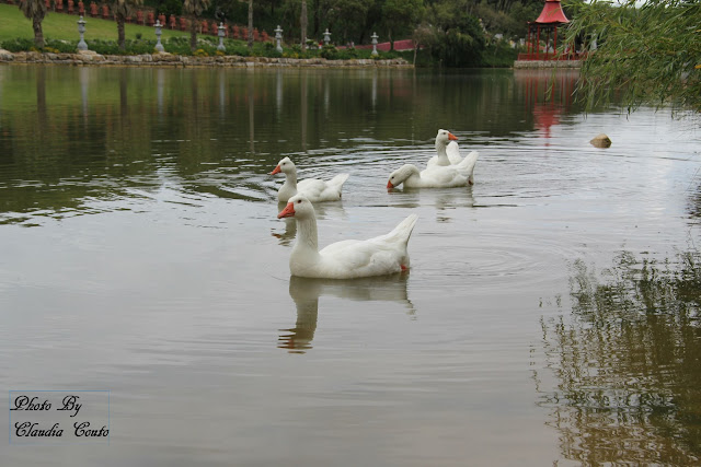 Fotografia de um lago com patos brancos majestosos, a elegância com que percorrem o lago ressalta ao olhar de qualquer pessoa, mesmo a mais desatenta. O reflexo tremido pela movimentação dos patos dá à imagem a controvérsia do movimento.