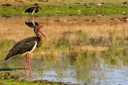 HIDE NIGRA, Cigüeña negra (Ciconia nigra), Black Stork