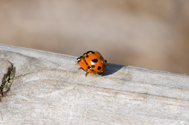 coccinellidae - two ladybird bug