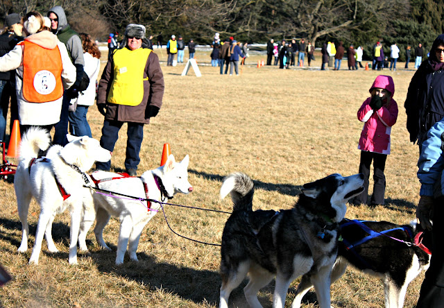 Sled Dogs race at Morton Arboretum in Lisle, Illinois.