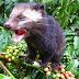 Menjaga Keaslian Civet Coffee Indonesia