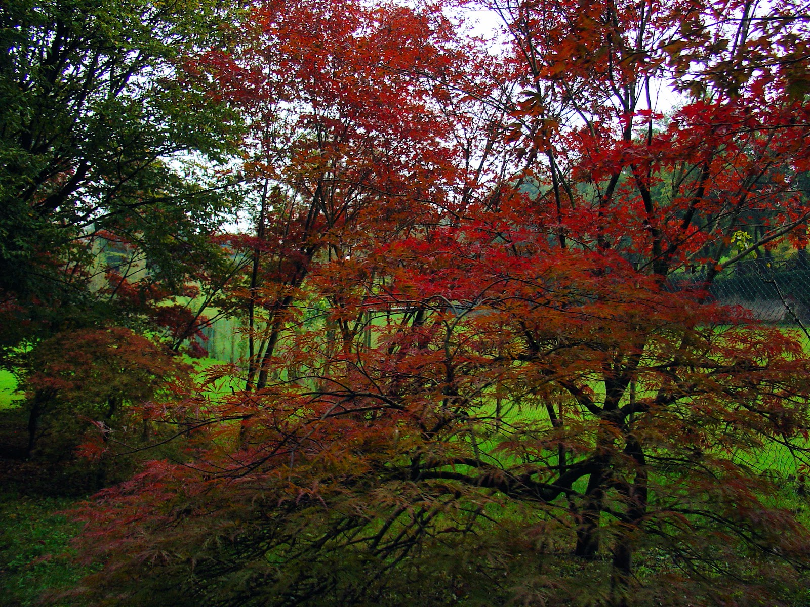 Japanese Maples ablaze with fiery hues of autumn.