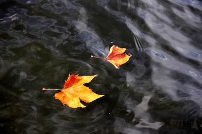 2 leaves from autumn floating in the water of a canal in Bruge
