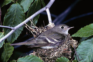 Image of an Acadian Flycatcher
