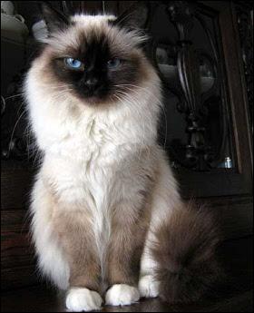 Zwierzaki Madzi Moje Ulubione Rasy Kotów