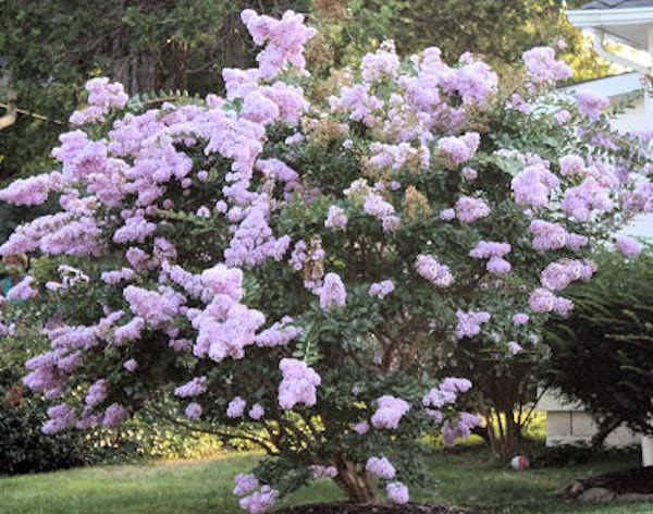 Crape myrtle muskogee bloom time maplestory auction house slots