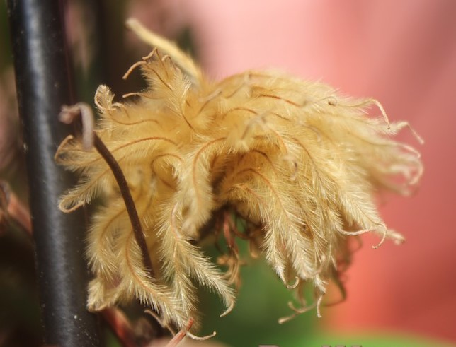 Propagate Clematis Seed Seed Head of Clematis Guernsey