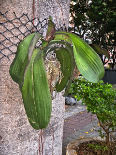 Orchid attached to tree, Taichung, Taiwan